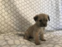Adorable Yorkie-Chihuahua Puppies in need of homes! Up