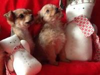 Very small Chorkie puppies. 1 girl and 1 boy left.. Dam