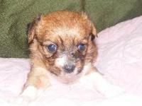 2 female $300 and 1 male $275 chorkie puppies. Mom is a