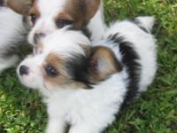 Cute Chorkie pups. 2 lady. prepared to go Saturday the