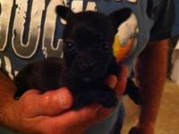 Chorkie puppies. We have one male and one female. They