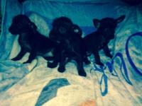 Chorkie Puppies born April 5 & 20, 2015. They are