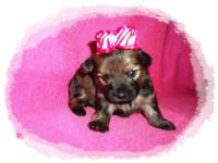 Adorable Toy Chorkie Puppies. Mom is a purebred long