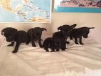 Chorkie Puppies born April 20, 2015 - they have their