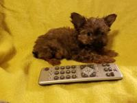Puff is a Chorkie (designer puppy.) A Chorkie is a