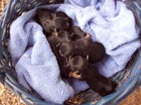 Pups:Males,$300 each or 2 for $500. ICA reg. and pup