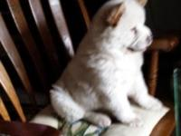 Chow puppy female , cream color , blue eyes , papers .
