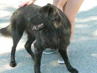 Chow Chow - Ace - Large - Young - Male - Dog