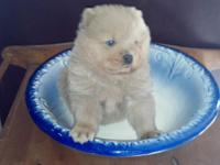 Male cream chow A.P.R.I signed up born 12/20/14, will