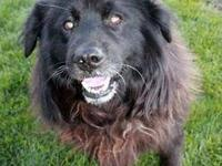 Chow Chow - Angus - Large - Senior - Male - Dog Angus
