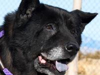 Chow Chow - Anna - Medium - Senior - Female - Dog