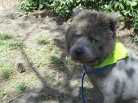 Chow Chow - Blue - Large - Adult - Male - Dog Blue is a