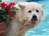 Chow Chow - Coco - Large - Adult - Male - Dog Came from