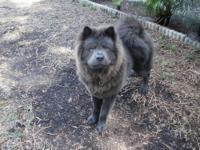 I have 3 Chows left (2)-BLACK Females-(Tiny & Princess)