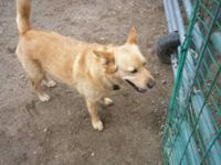 Chow Chow - Foxy - Large - Adult - Female - Dog We