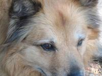 Chow Chow - Garnet - Large - Senior - Female - Dog