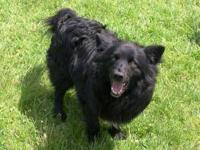 Chow Chow - Gomez - Medium - Adult - Male - Dog Hello,