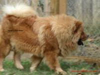 Chow Chow - Honey - 282, (formerly Blondie - 040) -