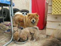 Have 2 puppy's left, 1boy 1 girl chow husky mix, 10