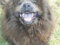 Chow Chow - Katie - Large - Baby - Female - Dog All
