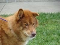 Chow Chow - Max-sponsored $40 Adoption Fee - Large -