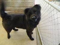 Chow Chow - Oscar - Large - Young - Male - Dog