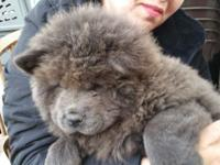I have a pure chow chow puppy, blue female 10 weeks