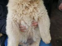 I have a pure chow chow puppy,cream male 10 weeks old,