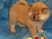 Hi I have beautiful chow chow puppies Males and