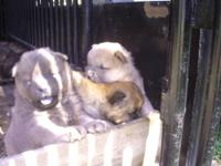 i have fullblooded chow puppies ready for new home