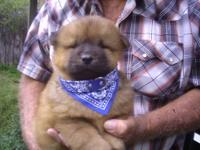 loving and playful chow chow puppies . FULL BLOODED has