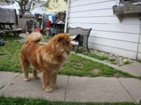 Chow Puppies for sale three Girls three Boys. 2-