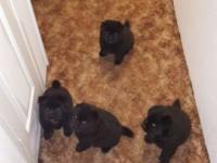 I have 1 male left available!!! Purebred chow puppies.