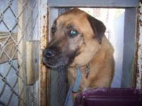 Chow Chow - Rudy - Large - Senior - Male - Dog K11005