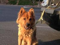 Chow Chow - Smokey Urgent - Medium - Adult - Male -