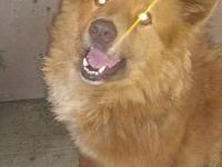 Chow Chow - Tyler - Medium - Young - Male - Dog Hey -