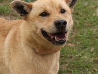 Chow Chow - Uno - Large - Adult - Male - Dog SPCA