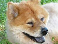 Chow Chow - Ursula - Medium - Senior - Female - Dog