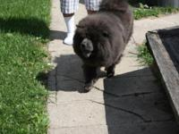 Blue Chow Puppy D.O.B 7/18/2015 Parents are Blue and on