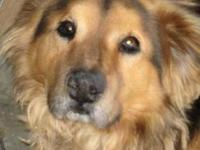 Chow Chow - 16090 - Medium - Adult - Male - Dog This