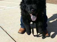 Chow Chow - Bear - Medium - Young - Male - Dog