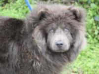 Chow Chow - Snow - Medium - Young - Male - Dog Snow is
