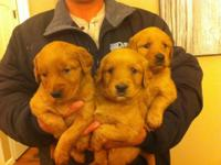 Golden Retriever Puppies Ready to Go!! Males and
