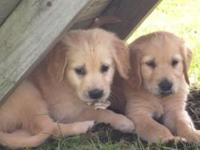 Reserve your Christmas golden retriever puppy today.