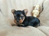 I have teacup yorkie boy, he is charting to be 3-4lb