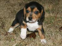 I currently have 2 female Beagle babies available for