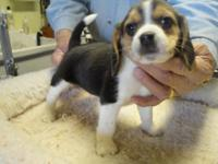 AKC Registered Beagle Puppies. 8 weeks old. Shots and