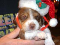 Description Cute little beagle pups ready Christmas