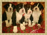 Papered Boxer Puppies, Born Nov 28 14 $750.00 each