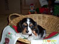 Cavalier King Charles Spaniel Puppy. 1 Tri-color male